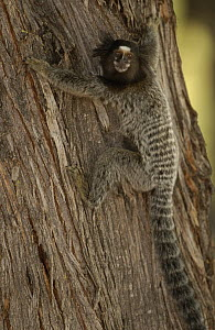 Common Marmoset (Callithrix jacchus) clinging to tree trunk, Brazil  -  Pete Oxford