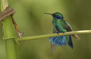Sparkling Violet-ear (Colibri coruscans) hummingbird perched in Mindo cloud forest ecosystem, Ecuador - Pete Oxford
