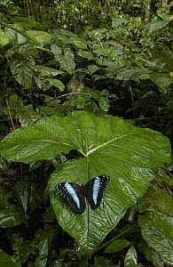 Morpho Butterfly (Morpho achilles) butterfly, in the rainforest, Ecuador  -  Pete Oxford
