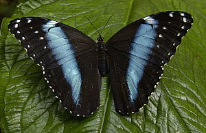 Morpho Butterfly (Morpho achilles) butterfly, on a leaf in the rainforest, Ecuador  -  Pete Oxford
