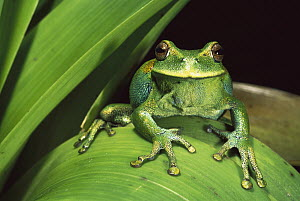 Marsupial Frog (Gastrotheca orophylax) in cloud the forest, Ecuador  -  Pete Oxford