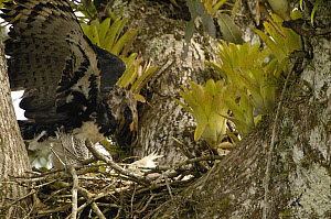 Harpy Eagle (Harpia harpyja) mother with five month old chick in nest in Kapok or Ceibo tree (Ceiba trichistandra), Aguarico River drainage, Amazon rainforest, Ecuador  -  Pete Oxford