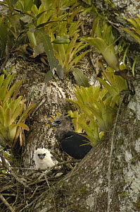 Harpy Eagle (Harpia harpyja) mother with five month old chick on sitting in Kapok tree, Aguarico River drainage, Amazon rainforest, Ecuador  -  Pete Oxford