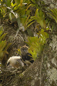 Harpy Eagle (Harpia harpyja) mother with five month old chick on nest in Kapok or Ceibo tree (Ceiba trichistandra), Aguarico River drainage, Amazon rainforest, Ecuador  -  Pete Oxford