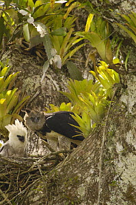 Harpy Eagle (Harpia harpyja) mother with five month old chick in nest on Kapok or Ceibo tree (Ceiba trichistandra), Aguarico River drainage, Amazon rainforest, Ecuador  -  Pete Oxford