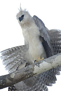 Harpy Eagle (Harpia harpyja) recently fledged seven month old wild chick 40 meters up a Kapok or Ceibo tree (Ceiba trichistandra) on nest, shrouding prey recently delivered by parent, Cuyabeno Reserve...  -  Pete Oxford