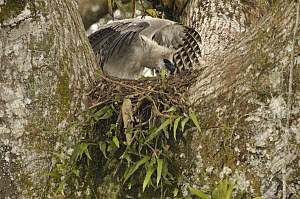 Harpy Eagle (Harpia harpyja) recently fledged seven month old wild chick 40 meters up a Kapok or Ceibo tree (Ceiba trichistandra) on nest, shrouding prey recently brought by parent bird, Cuyabeno Rese...  -  Pete Oxford