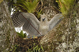 Harpy Eagle (Harpia harpyja) recently fledged seven month old wild chick 40 meters up a Kapok or Ceibo tree (Ceiba trichistandra) in nest, inspecting trap, Cuyabeno Reserve, Amazon rainforest, Ecuador  -  Pete Oxford