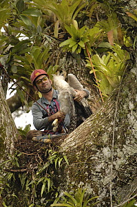 Harpy Eagle (Harpia harpyja) recently fledged seven month old wild chick in nest 40 meters up a Kapok or Ceibo tree (Ceiba trichistandra) with leg caught in trap set by biologist Alexander Blanco, Cuy...  -  Pete Oxford
