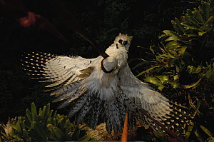Harpy Eagle (Harpia harpyja) recently fledged seven month old wild chick being hauled 40 meters up a Kapok or Ceibo tree (Ceiba trichistandra) back to its nest for release, Cuyabeno Reserve, Amazon ra...  -  Pete Oxford