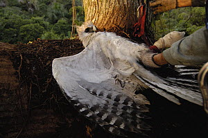 Harpy Eagle (Harpia harpyja) recently fledged seven month old wild chick returned to its nest 40 meters up a Kapok or Ceibo tree (Ceiba trichistandra) by Alexander Blanco, Cuyabeno Reserve, Amazon rai...  -  Pete Oxford