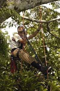 Alexander Blanco 40 meters up a Kapok tree preparing to set a trap to catch a recently fledged seven month old wild Harpy Eagle (Harpia harpyja) chick to put a GPS transmitter on it, Amazon rainforest...  -  Pete Oxford