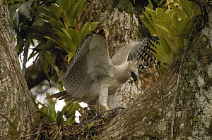 Harpy Eagle (Harpia harpyja) recently fledged seven month old wild chick, in nest 40 meters up a Kapok tree with foot in trap, Cuyabeno Reserve, Amazon rainforest, Ecuador  -  Pete Oxford