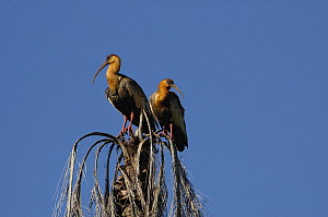 Buff-necked Ibis (Theristicus caudatus) pair perched atop dead palm, Mato Grosso do Sul, Brazil  -  Pete Oxford