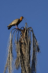 Buff-necked Ibis (Theristicus caudatus) calling from atop dead palm, Mato Grosso do Sul, Brazil  -  Pete Oxford