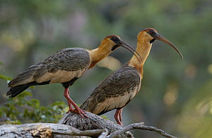 Buff-necked Ibis (Theristicus caudatus) pair, Brazil  -  Pete Oxford