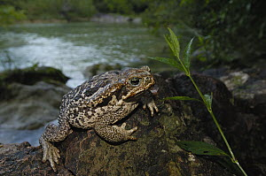 Cururu Toad (Bufo paracnemis) on rock along stream, Brazil  -  Pete Oxford