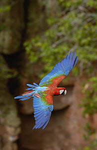 Red and Green Macaw (Ara chloroptera) flying, Cerrado habitat, Mato Grosso do Sul, Brazil  -  Pete Oxford