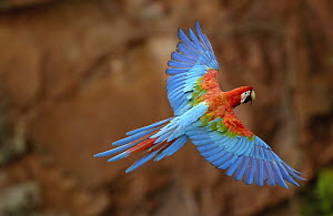 Red and Green Macaw (Ara chloroptera) flying, wings spread, back view, wild, ranges from humid east Panama to Brazil, east Peru, north-east Bolivia and Paraguay, Cerrado habitat, Mato Grosso do Sul, B...  -  Pete Oxford