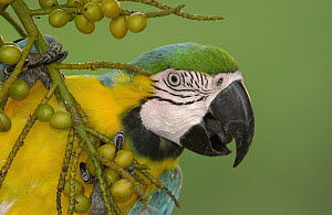 Blue and Yellow Macaw (Ara ararauna) pauses while feeding on palm fruit, native to Amazon rainforest, South America - Pete Oxford