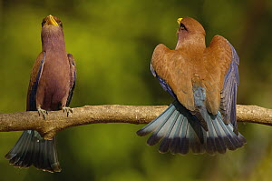 Broad-billed Roller (Eurystomus glaucurus) male and female in courtship display, western deciduous forest, Ankarafantsika National Park, Madagascar  -  Pete Oxford
