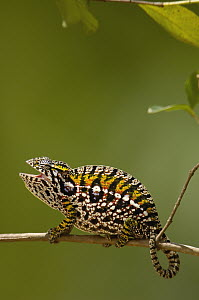 Jeweled Chameleon (Furcifer lateralis) commonly encountered across the island of Madagascar except in the northwest - Pete Oxford