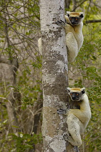 Golden-crowned Sifaka (Propithecus tattersalli) pair clinging to tree trunk, critically endangered, Daraina, northeast Madagascar  -  Pete Oxford