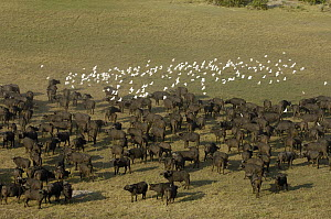 Cape Buffalo (Syncerus caffer) herd with Cattle Egret (Bubulcus ibis) flock in clearing, Africa - Pete Oxford