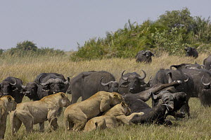 African Lion (Panthera leo) group catching Cape Buffalo (Syncerus caffer), Africa  -  Pete Oxford