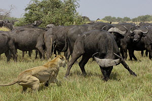 African Lion (Panthera leo) fending off Cape Buffalo (Syncerus caffer), Africa  -  Pete Oxford