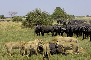 African Lion (Panthera leo) group feeding on Cape Buffalo (Syncerus caffer), Africa  -  Pete Oxford