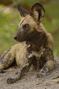 African Wild Dog (Lycaon pictus) portrait, endangered, Africa - Pete Oxford