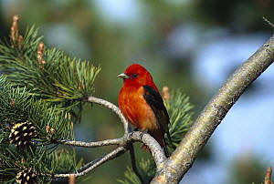 Scarlet Tanager (Piranga olivacea) male perched in tree, Long Island, New York  -  Tom Vezo