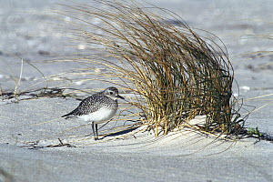 Black-bellied Plover (Pluvialis squatarola) in winter plumage, Long Island, New York  -  Tom Vezo