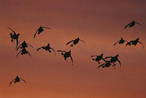 Canvasback (Aythya valisineria) duck, flock coming in to land, sunrise, Long Island, New York  -  Tom Vezo