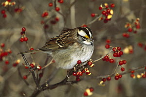 White-throated Sparrow (Zonotrichia albicollis) perched in Bittersweet bush, Long Island, New York  -  Tom Vezo