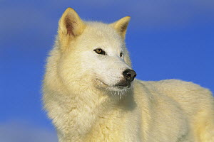 Arctic Wolf (Canis lupus) portrait of white wolf with ice on its chin, Idaho  -  Tom Vezo