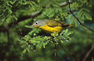 Nashville Warbler (Oreothlypis ruficapilla) singing from perch in tree, Rio Grande Valley, Texas  -  Tom Vezo