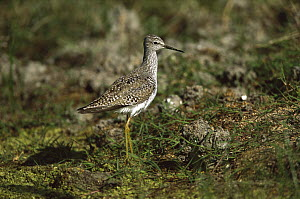 Lesser Yellowlegs (Tringa flavipes) portrait, Rio Grande Valley, Texas  -  Tom Vezo