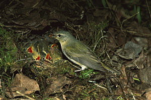 Tennessee Warbler (Oreothlypis peregrina) parent feeding young in nest on forest floor, Saskatchewan, Canada  -  Tom Vezo