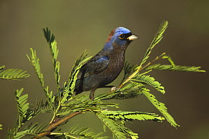 Varied Bunting (Passerina versicolor) male perching, Santa Rita Mountains, Arizona  -  Tom Vezo