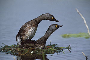 Least Grebe (Tachybaptus dominicus) pair mating, Rio Grande Valley, Texas - Tom Vezo