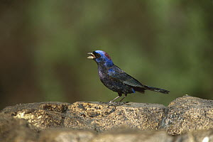 Varied Bunting (Passerina versicolor) male, Santa Rita Mountains, Arizona  -  Tom Vezo
