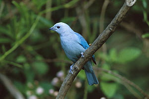 Blue-gray Tanager (Thraupis episcopus) perched in a tree, Costa Rica  -  Tom Vezo