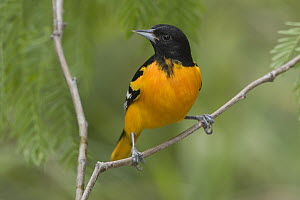 Baltimore Oriole (Icterus galbula) male perched on a branch, Texas  -  Tom Vezo