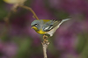 Northern Parula (Setophaga americana) perching, Rio Grande Valley, Texas  -  Tom Vezo