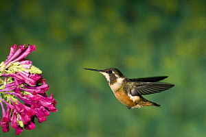 White-bellied Woodstar (Acestrura mulsant) hummingbird hovering near flower, Andes, Ecuador  -  Tom Vezo