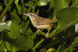 Carolina Wren (Thryothorus ludovicianus) with insect prey, Rio Grande Valley, Texas  -  Tom Vezo