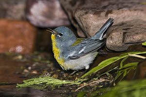 Northern Parula (Parula americana) singing, Rio Grande Valley, Texas  -  Tom Vezo