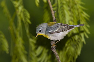 Northern Parula (Parula americana), Rio Grande Valley, Texas  -  Tom Vezo